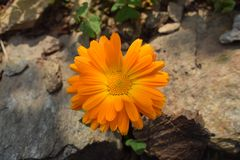 Calendula flower. With stone  and soil Stock Photography