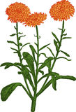 Orange Calendula flower. Vector Stock Photography