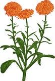 Orange Calendula flower. Vector royalty free illustration