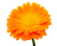 Calendula flower with water drops Stock Images