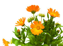 Calendula flower on a white background. Bouquet of flowers of calendula closeup on white background Stock Image