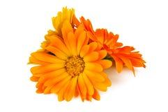 Calendula flower on white Stock Images