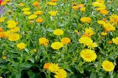 Calendula, flowerbed Стоковые Фотографии RF
