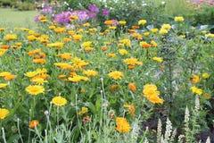 Calendula, flowerbed Стоковое фото RF