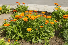 Calendula flowering on flowerbed Stock Photo