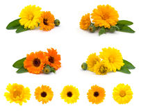 Calendula flowers Royalty Free Stock Photos