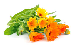 Calendula  of flowers Stock Image