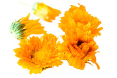 Calendula flowers Royalty Free Stock Photo
