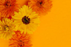 Calendula flowers background Royalty Free Stock Photo