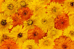 Calendula flowers background Stock Images