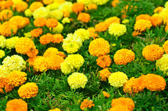 Calendula flowers field Royalty Free Stock Images