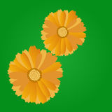 Calendula flowers. On a green background Stock Photo