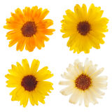 Calendula flowers isolated. Set of 4 calendula flowers isolated on white Royalty Free Stock Photos