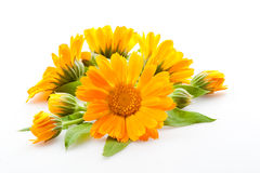 Calendula. flowers isolated on white Royalty Free Stock Photography
