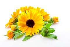 Calendula. flowers isolated on white Royalty Free Stock Photos