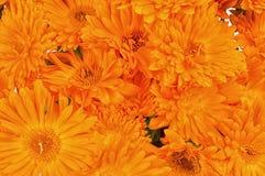 Calendula flowers Stock Photos