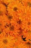 Calendula flowers Royalty Free Stock Image