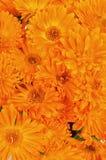 Calendula flowers Royalty Free Stock Photography