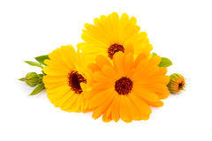 Calendula. flowers isolated on white Stock Images
