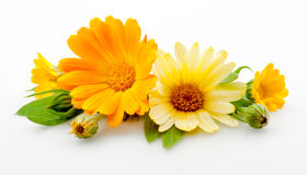 Calendula. flowers with leaves isolated on white Stock Photos