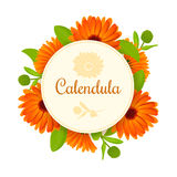 Calendula. Flowers with leaves. round badge with text. Calendula flower vector illustration. marigold. round badge with text. Flowers with leaves. Herbal stock image