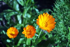 Calendula flowers and leaves, top view, soft blurry background. Calendula flowers and leaves, top view, soft blurry bokeh background royalty free stock photo