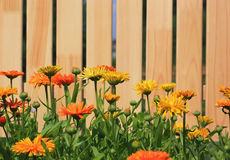 Calendula flowers before new wooden fence Stock Photography