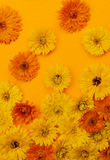 Calendula flowers on orange background Stock Photography