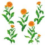 Calendula flowers set Royalty Free Stock Images