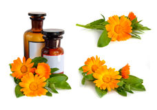 Calendula Stock Photo