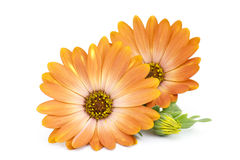 Calendula flowers  on white Stock Photos