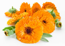 Calendula flowers. Royalty Free Stock Photography