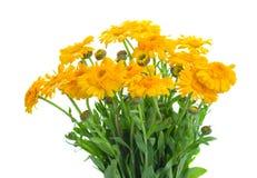 Calendula flowers Stock Image