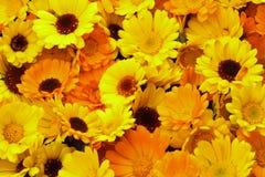 Calendula - fondo floral Imagenes de archivo