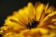 Calendula gialla Fotografia Stock
