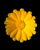 Calendula gialla (tagete) Fotografia Stock
