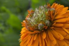 Calendula - Greenheart Orange Flower Stock Image