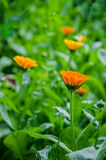 Calendula i gräs Royaltyfria Bilder