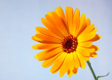 Calendula jaune Image stock