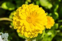Calendula jaune photo libre de droits