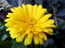 Calendula jaune dans sa splendeur maximum image stock