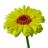 Calendula jaune de carmin de fleur, d'isolement sur un fond blanc Plan rapproché photographie stock