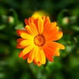 Calendula kwiat obrazy stock