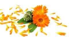 Calendula kwiat, nagietek Obraz Stock