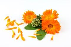 Calendula kwiat, nagietek Zdjęcia Royalty Free