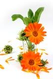 Calendula kwiat, nagietek w szkle Zdjęcie Royalty Free