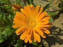 Calendula kwiat w świetle słonecznym Zdjęcie Royalty Free