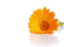 calendula kwiaty zdjęcia stock