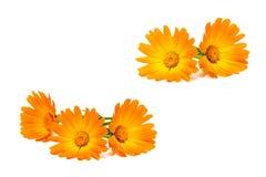 Calendula kwiaty odizolowywający na białym tle Fotografia Stock