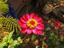 Calendula kwitnienie Obrazy Royalty Free